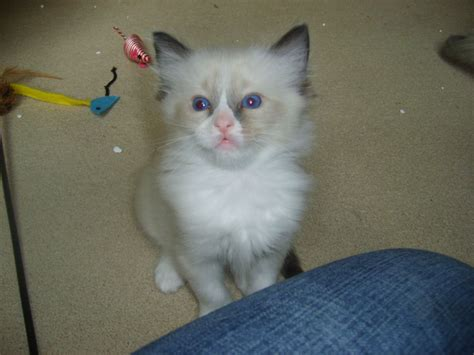 ragdoll cats for sale ragdoll kittens for sale herne bay kent pets4homes