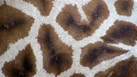 tappeto mucca dalani tappeto pelle di mucca morbidezza infinita