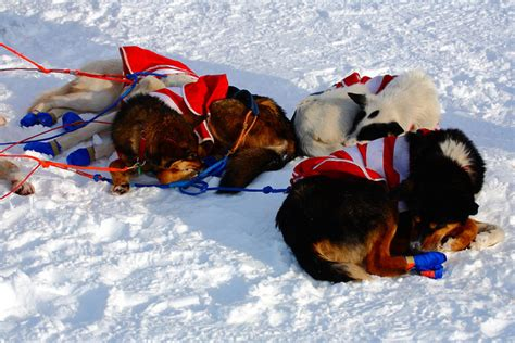 sledding facts sled dogs facts images
