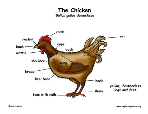 rooster diagram chicken exploring nature educational resource