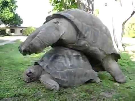 imagenes de animales apareandose animales en celo 7 tortugas apareandose todo un