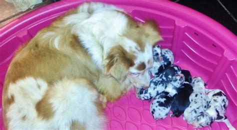 deciding whether and when to neuter a golden retriever shamrock aussies welcome to shamrock aussies all of our dogs puppies