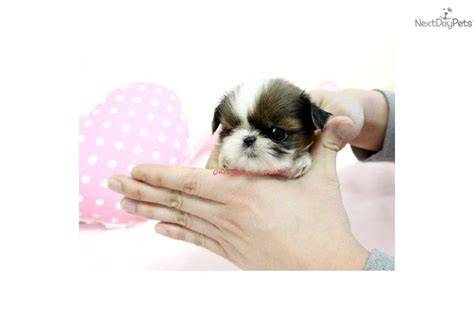 Shih Tzu Puppy For Sale Near Sacramento California Beb340dc 9291