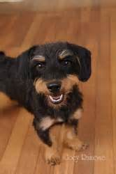 zidaho dogs 1000 images about dorkie on puppys you don t say and look at