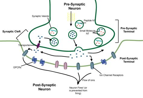 Define Synaptic Knob by Synapse Dr Simon Says Science