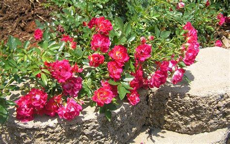 drift roses drift roses gardenality