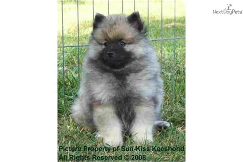 yorkie rescue knoxville tn pomsky puppies for sale knoxville tn breeds picture