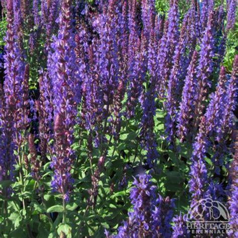 salvia superba plant images