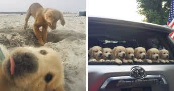 cutest golden retriever in the world 10 times golden retriever puppies were the purest thing in the world bored panda