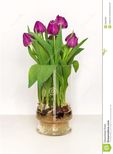 Growing Tulips In Water Vase by Magenta Tulips Growing In Water In A Glass Vase Bulbs And Root Stock Photo Image 50904658