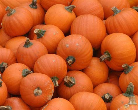 pumpkins pumpkins everywhere halloween wallpaper 24469411 fanpop
