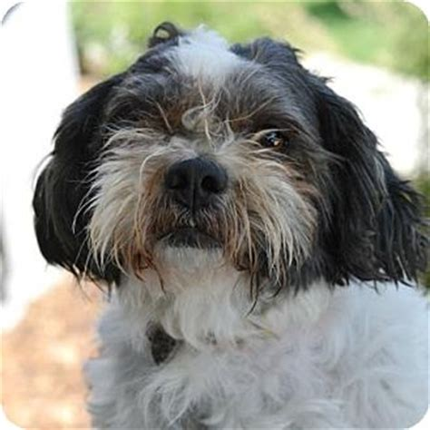 shih tzu denver tobby adopted 28161954 denver co shih tzu miniature poodle mix
