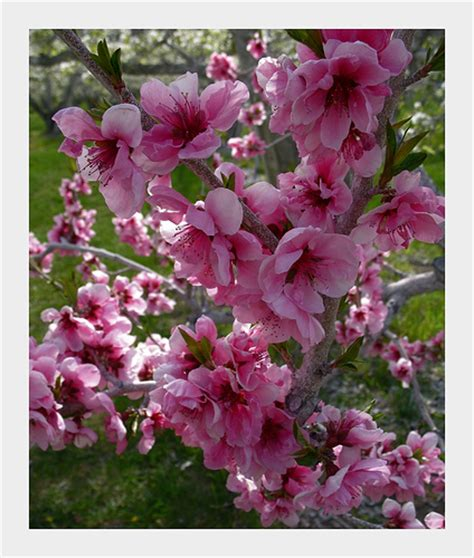 pink blossoms on a fruit tree maybe nectarines or some sof flickr