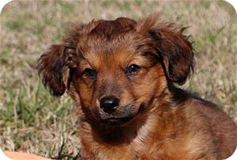golden retriever chesapeake bay retriever mix glastonbury ct golden retriever chesapeake bay retriever mix meet zula a puppy for
