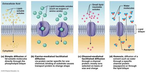 osmosis   cell membrane occurs  channels