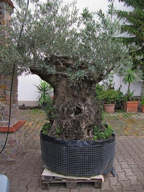olivenbaum garten olivenbaum in n 252 rnberg pflanzen kaufen und verkaufen