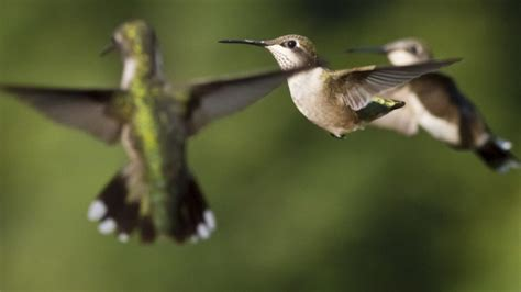 hummingbirds make an incredible journey north cool green