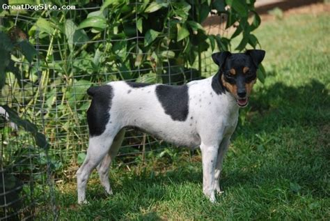 Brazilian Terrier Puppy Dog   Fox Paulistinha (Brazilian ...