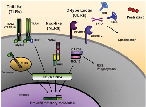 pattern recognition receptors signaling pathways pattern recognition receptors involved or potentially