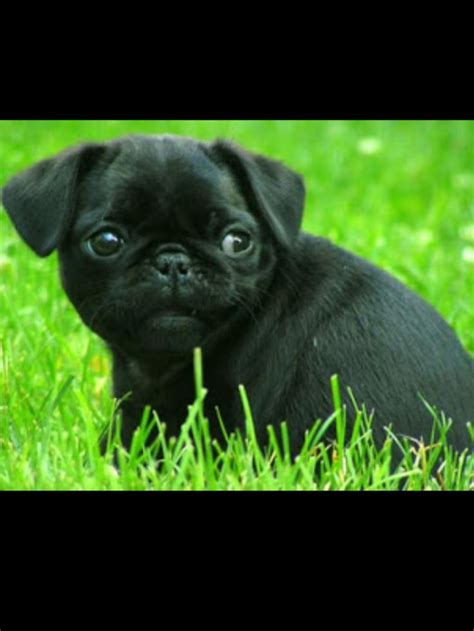 pug breeders in indiana 17 best images about pugs on daylight savings time the grass and spider