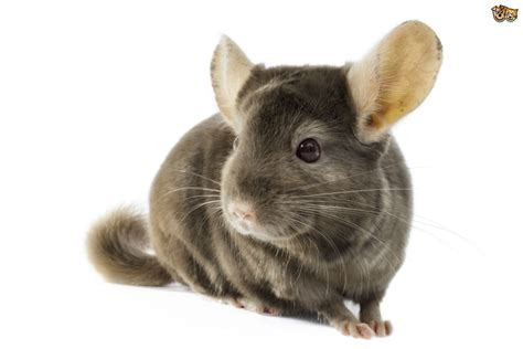 chinchilla cage ferret rodents rat grey degu two wooden platform water bottle ebay