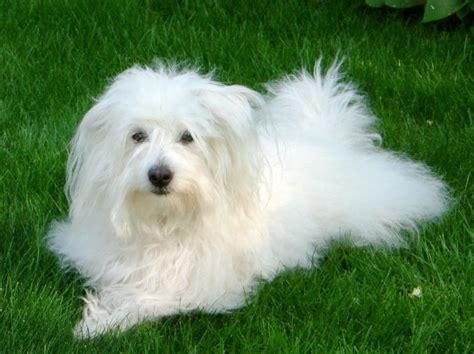 coton puppies coton de tulear