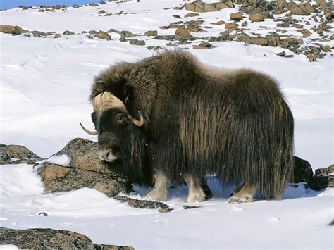 urial wallpapers animals town yak wallpaper animals town