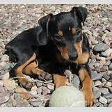 White German Shepherd Lab Mix Puppies | 320 x 294 jpeg 41kB