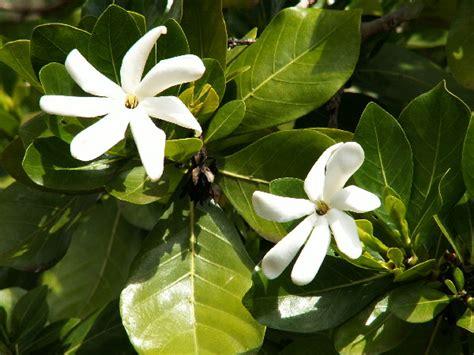 Gardenia Taitensis Waikiki