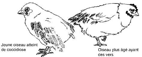 la hutte virtuelle chapitre 6 poulets et canards