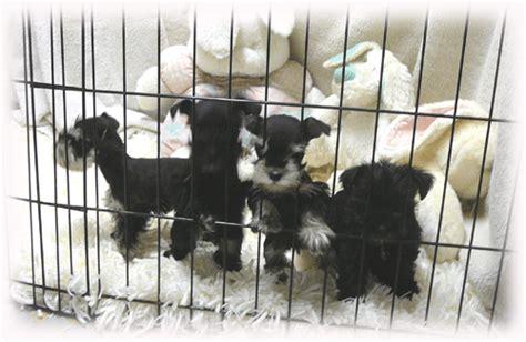 mini schnauzer puppies ohio miniature schnauzer puppies cincinnati ohio 4k wallpapers