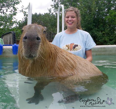 a pet pet capybara 171 capybara madness