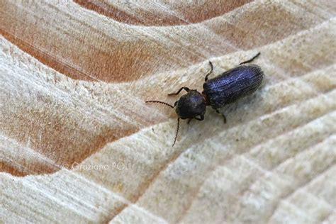 tarme mobili tarli legno e tarme legno due insetti da non