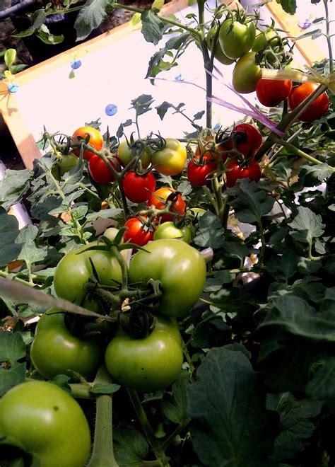 Pupuk Boron Untuk Tomat hidroponik hidroponik mudah dan menyenangkan