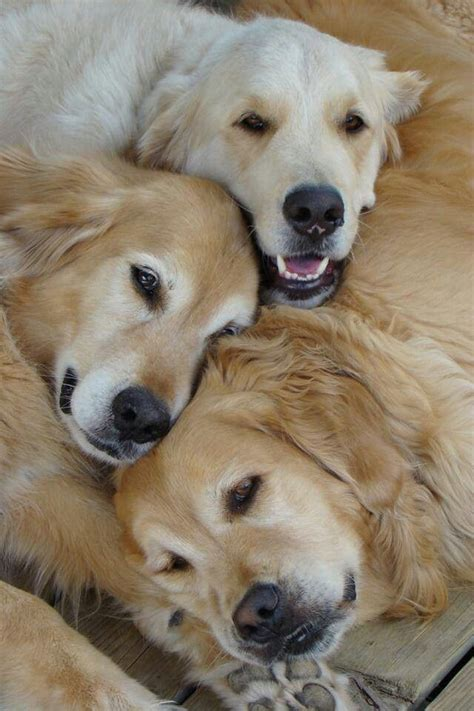 golden retriever shades golden retrievers dogs and puppies