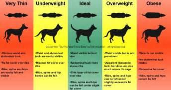 labrador puppies feeding chart about animals