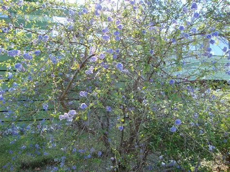 shrub blue flowers shrub naturally beautiful
