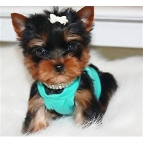 yorkie babies complaints royal puppy paws terrier breeder in fredericksburg virginia listing id