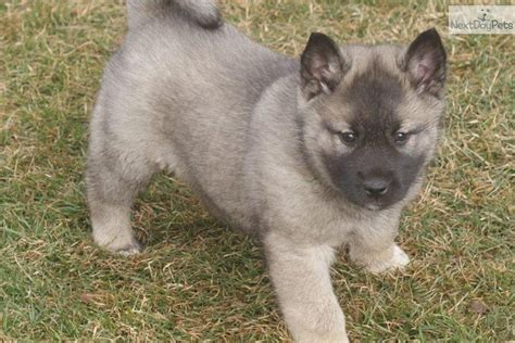 elkhound puppy elkhound mix www imgkid the image kid has it