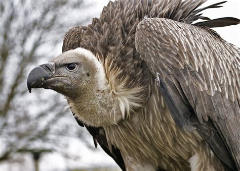 vulture bird berit watkin flickr