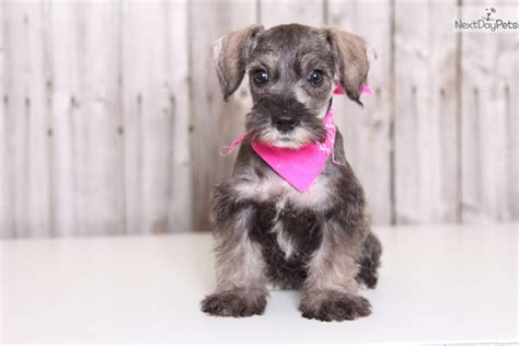 miniature schnauzer puppies ohio schnauzer miniature puppy for sale near columbus ohio cbe8a89a 1231