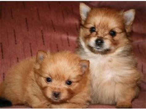 yoranian puppies for sale teacup yoranian hd wallpapers on picsfair