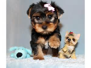 Beautiful teacup yorkie puppies for free adoption to any loving and