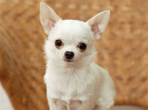 white chihuahua puppies white chihuahua puppies breeder wanted sutton surrey pets4homes