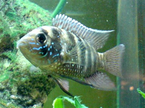 Blue Acara, Aequidens pulcher colorful tropical fish pictures