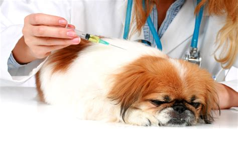 how do dogs get diabetes diabetes in dogs what you need to napa s daily growl