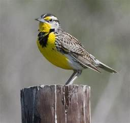 What Is The Maryland State Flower - kansas state bird western meadowlark