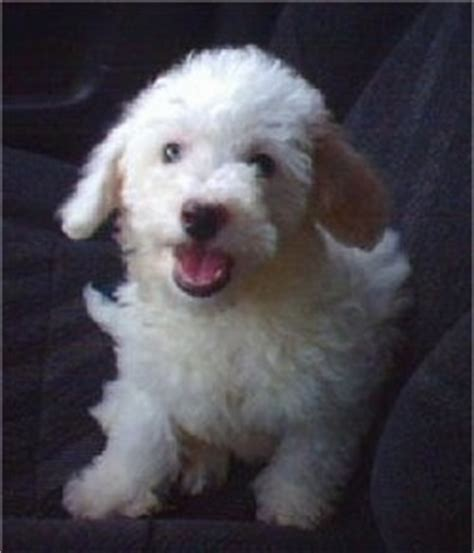 havanese bichon mix havachon breed information and pictures
