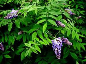 nivea american wisteria carolyn s shade gardens