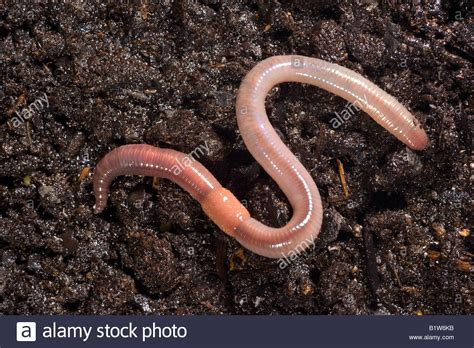 types of garden worms common earthworm lumbricus terrestris segmented worm stock